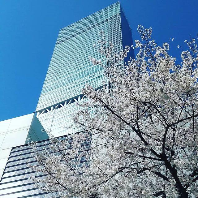 本日定休日ハルカスと満開桜本当にいいお天気ですねー明日からもよろしくお願いします#平野区 #パン屋 #鉄工所リノベーション #阿倍野ハルカス